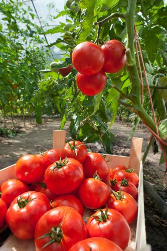 Tomato (1)
